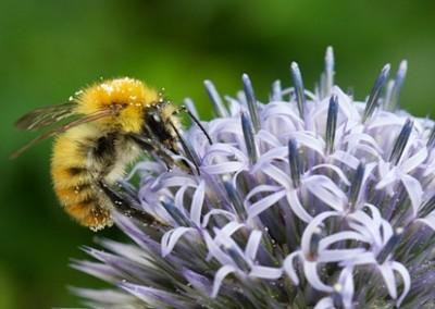 abeille5
