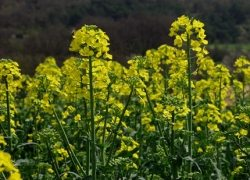 colza---fleur-(3)-250p