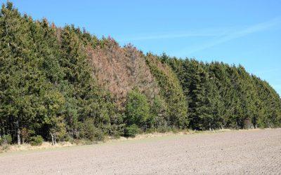 En forêt : épicéas attaqués par les scolytes