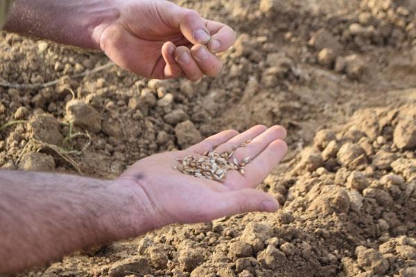 Agriculture : les blés sont semés !